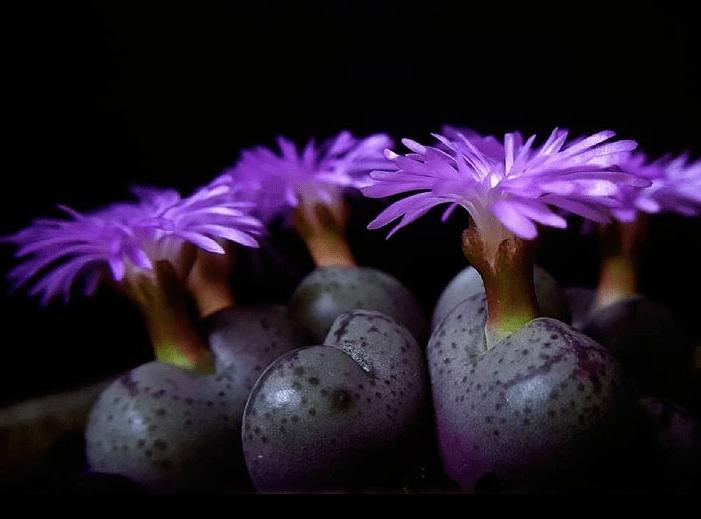Conophytum - plants bank