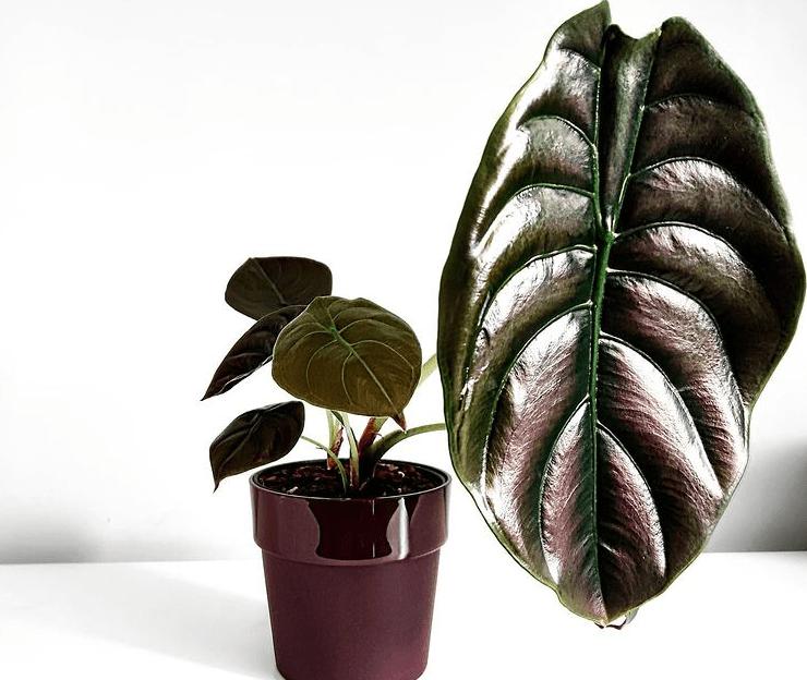 Alocasia cuprea - plants bank