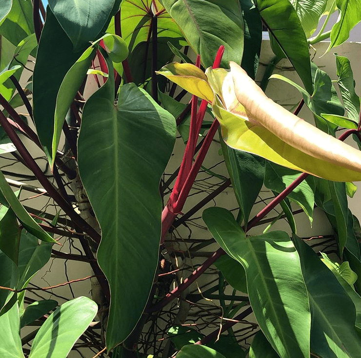 Philodendron erubescens - plants bank