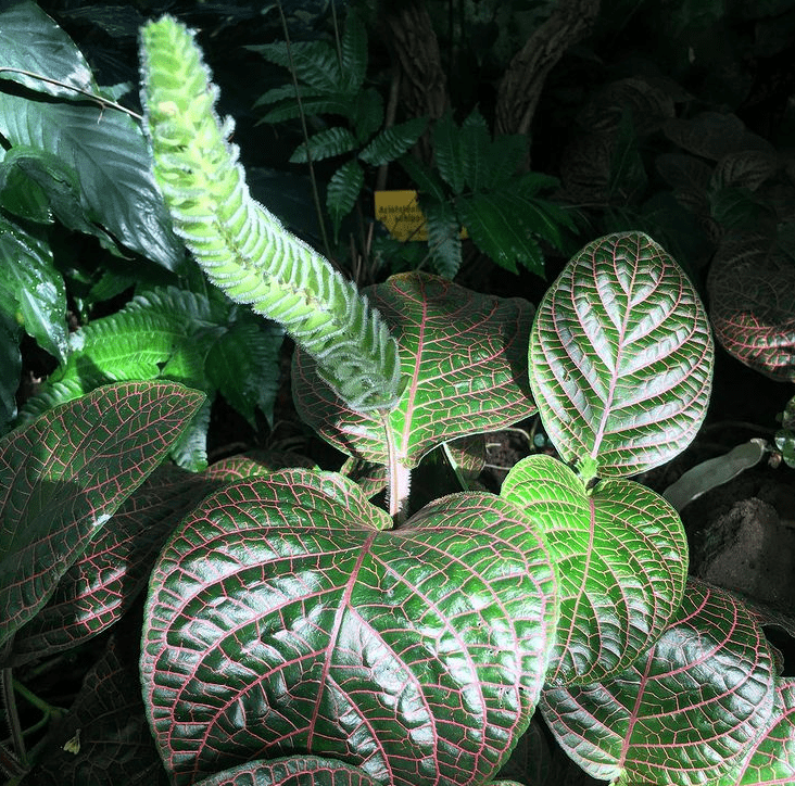Fittonia gigantea - plants bank