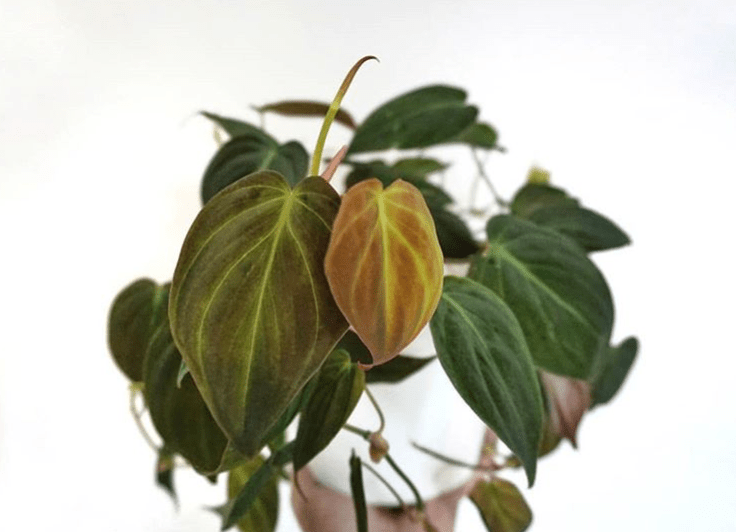 Philodendron hederaceum - plants bank