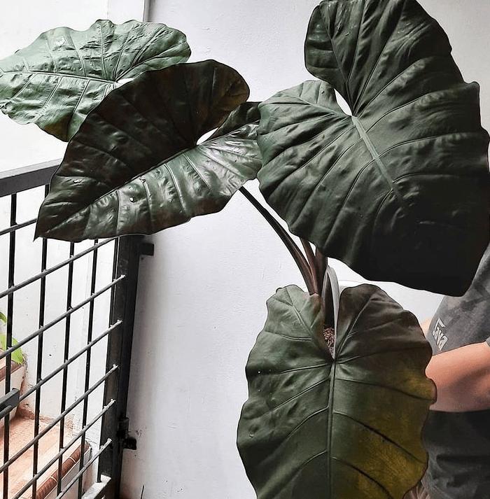 """A. plumbea """"nigra"""" - plants bank"""