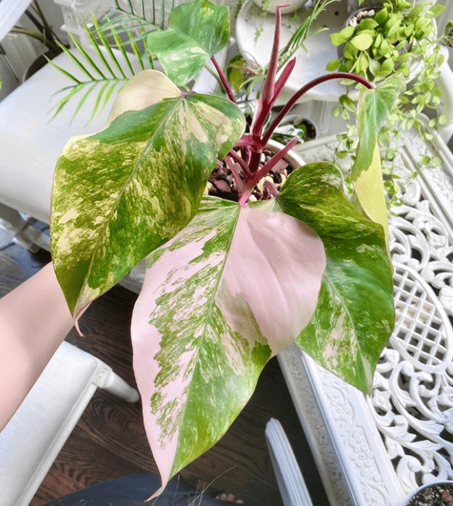 Philodendron - popular species and care tips - plants bank