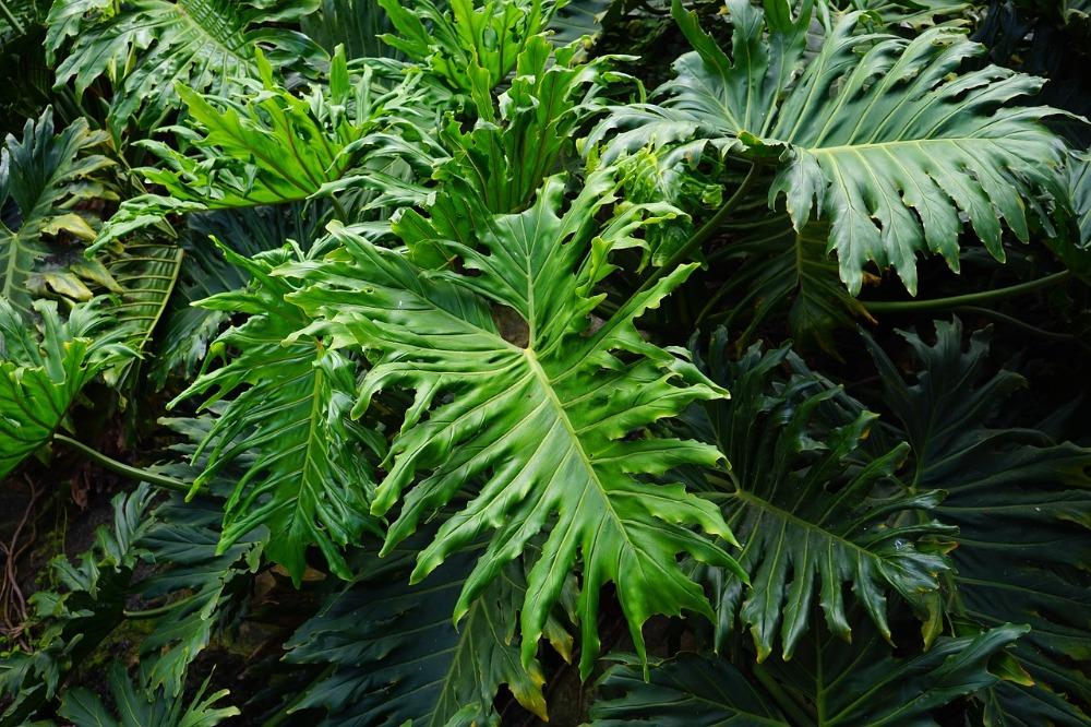 Philodendron selloum - plants bank
