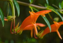 Goldfish plant: How to grow and care for Columnea plants? - plants bank