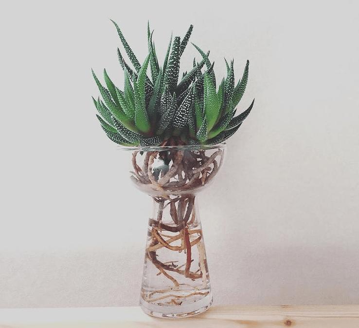 H. minima - plants bank