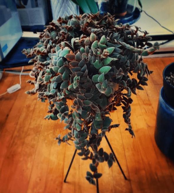 Columnea gloriosa - plants bank