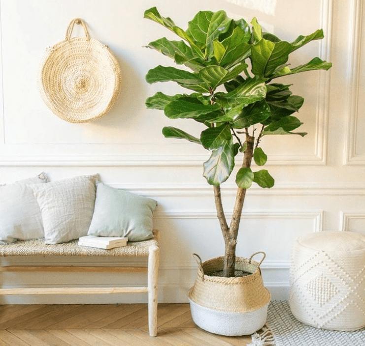 F. lyrata - plants bank