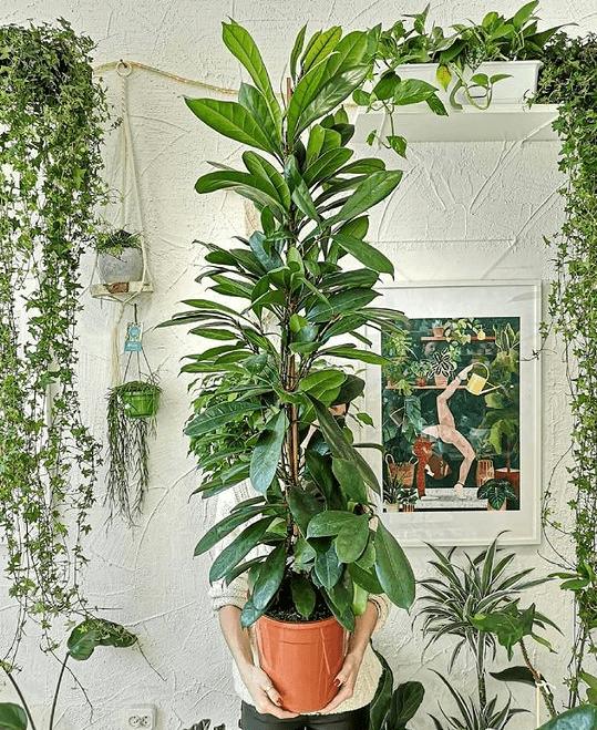 F. cyathistipula - plants bank