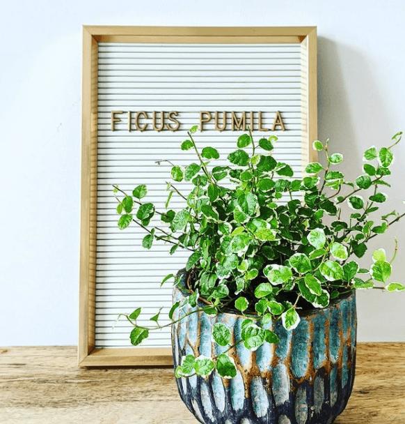 F. pumila - plants bank