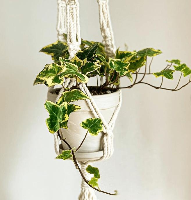 H. helix - plants bank
