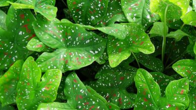 How to grow and care for Caladium plants - plants bank