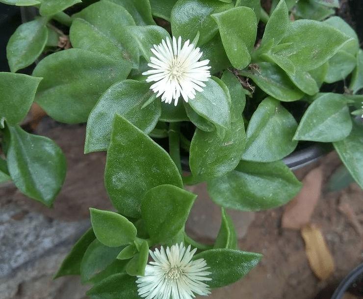 A. geniculiflora - plants bank