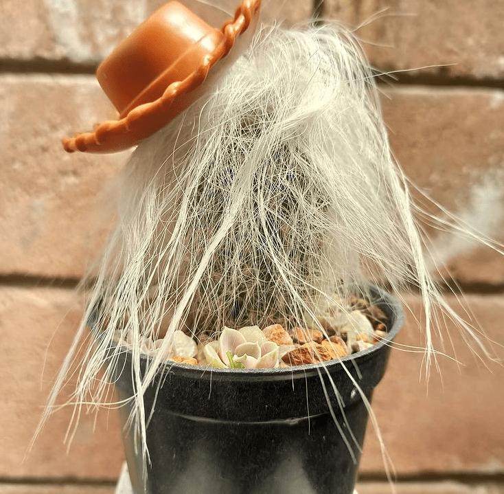 Cephalocereus senilis - plants bank