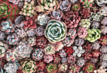 Echeveria - plants bank