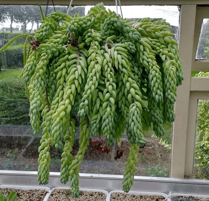 S. morganianum - plants bank