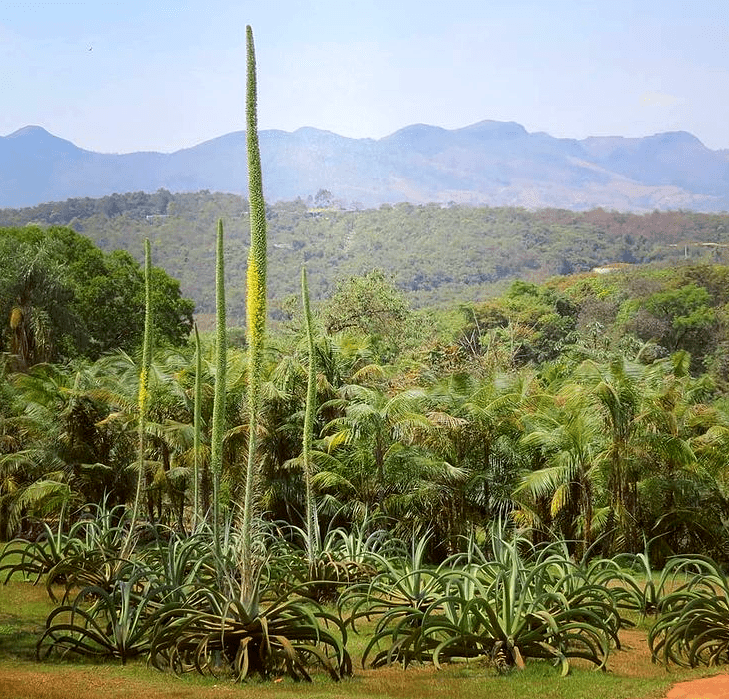 agave vilmoriniana - plants bank