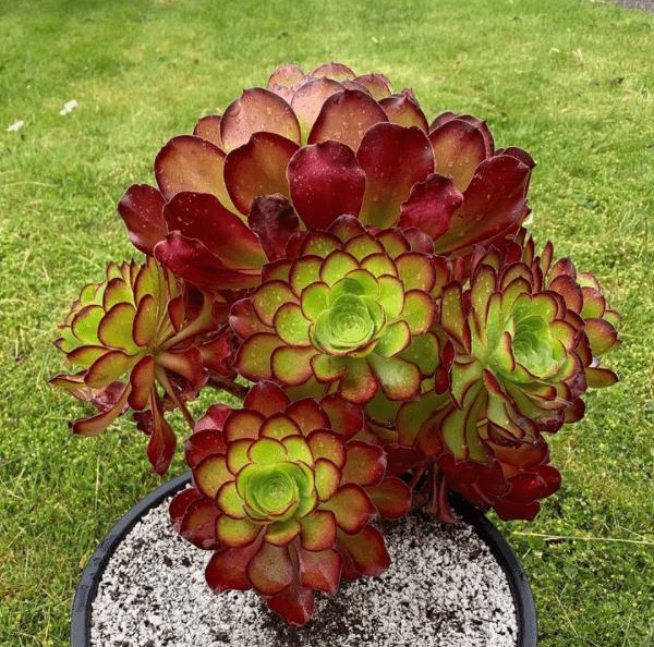 Aeonium - plants bank