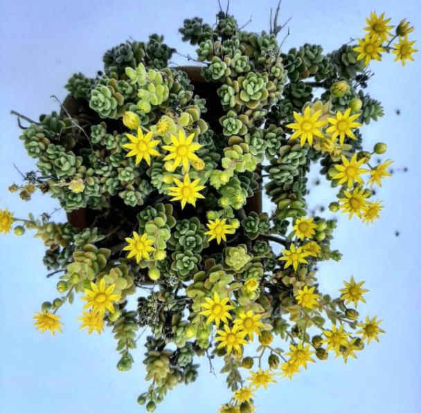 Aichryson - plants bank