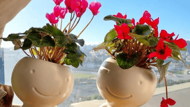 Persian violet - plants bank